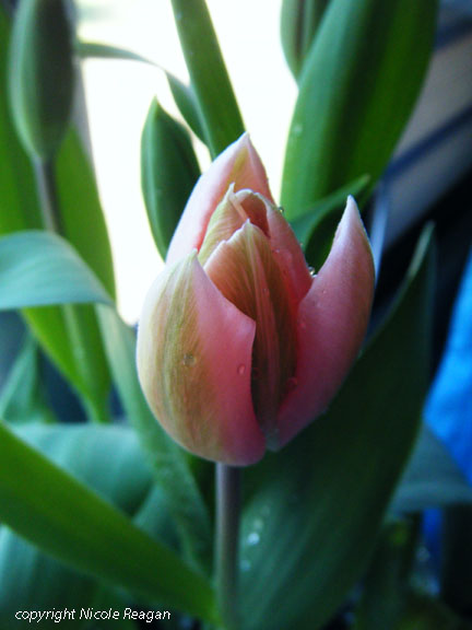 Soozee the tulip